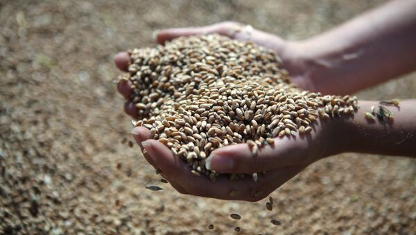 Зерно. Архивное фото