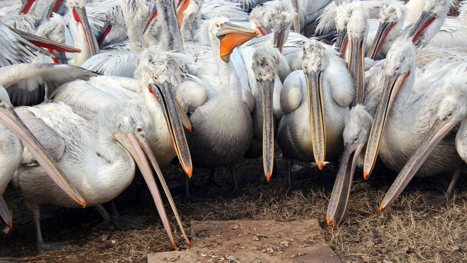 Зимовка пеликанов в порту Махачкалы - РИА Новости, 1920, 17.04.2021