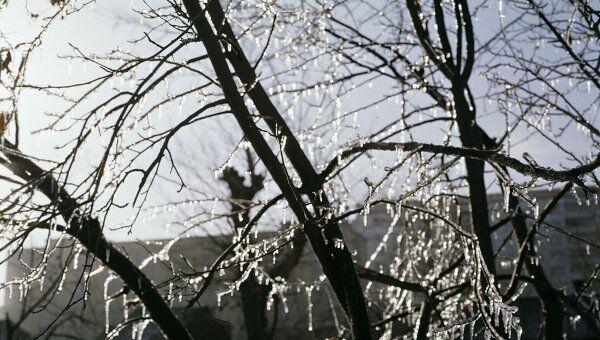 Ветви дерева с сосульками. Архив