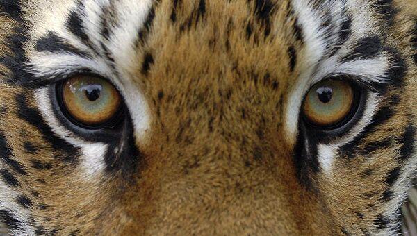 Директор шапито избежал уголовного дела за смерть 8 тигров и львицы