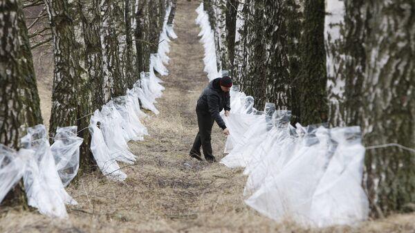 Заготовка березового сока в Белоруссии