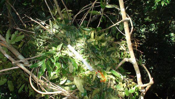 Гнездо, построенное орангутаном на дереве в индонезийском лесу
