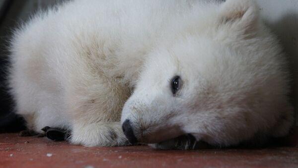 Операция по спасению белого медвежонка в Якутии