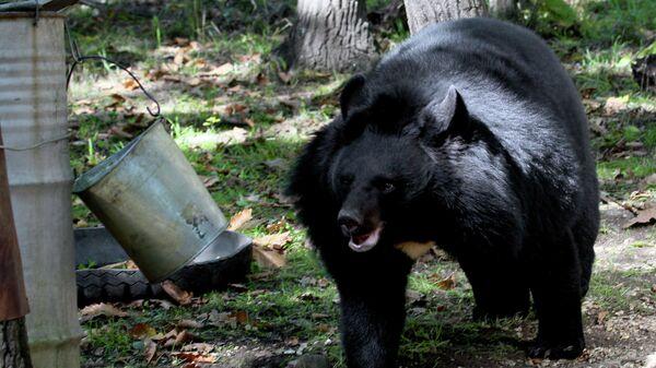 Гималайский медведь в Приморье. Архивное фото