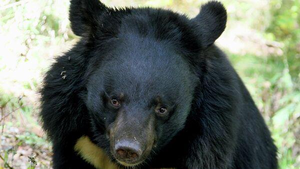 Гималайский медведь. Архивное фото.