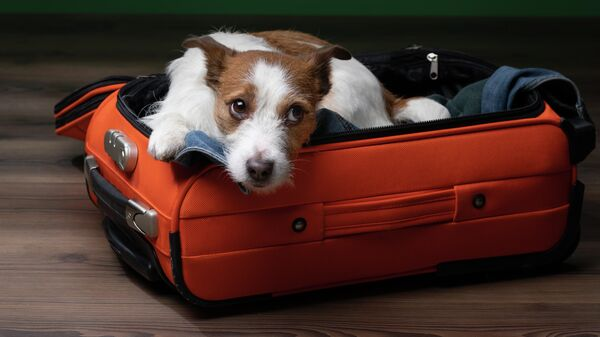 Собака породы джек-рассел терьер в чемодане