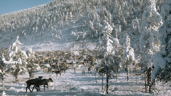 Олени. Якутский поселок Оймякон