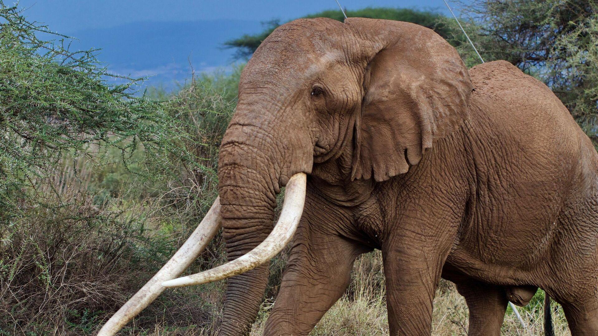 Слон Тим в кенийском Национальном парке Амбосели - РИА Новости, 1920, 13.05.2020