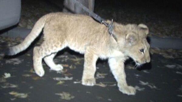 Привезенный в зоопарк львенок-найденыш осмотрелся и выпил из миски