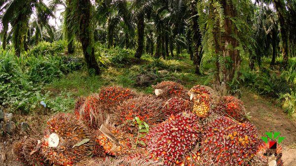 Деревья масличной пальмы с плодами
