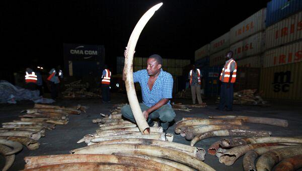 Власти Кении конфисковали 2 тонны слоновьих бивней