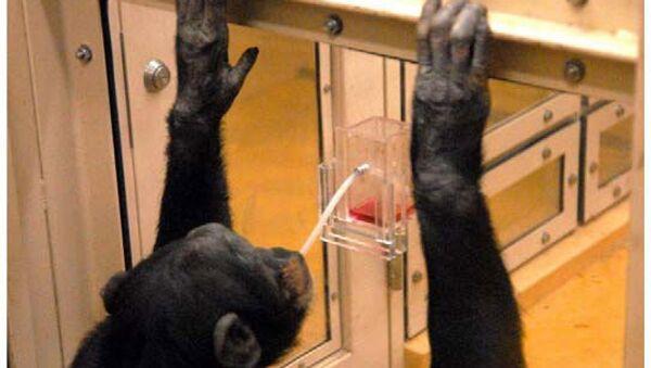 Шимпанзе пытается достать сок из стакана при помощи соломинки