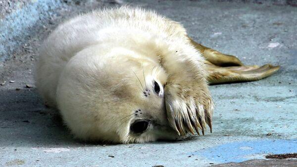 Детеныш серого тюленя в вольере калининградского зоопарка. Архивное фото