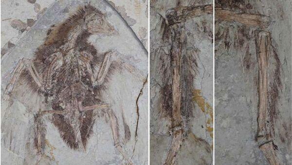 Хорошо сохранившийся скелет конфуциорниса и перья на его ногах (справа)