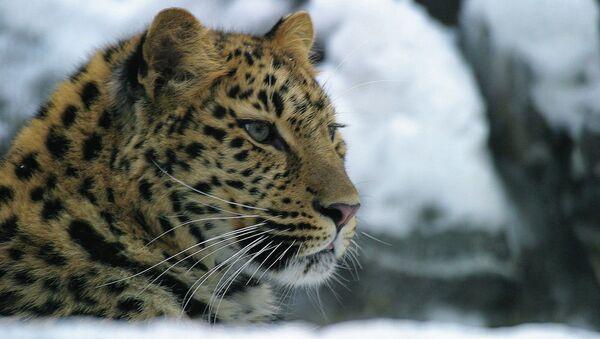 Дальневосточный леопард, обитающий в национальном парке Приморья «Земля леопарда». Архивное фото