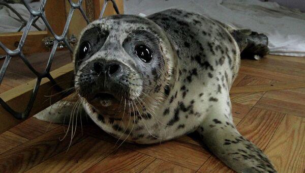 Детеныш тюленя. Архивное фото