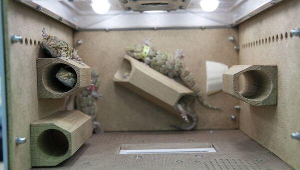 Гекконы внутри специальной камеры на борту Биона-М1