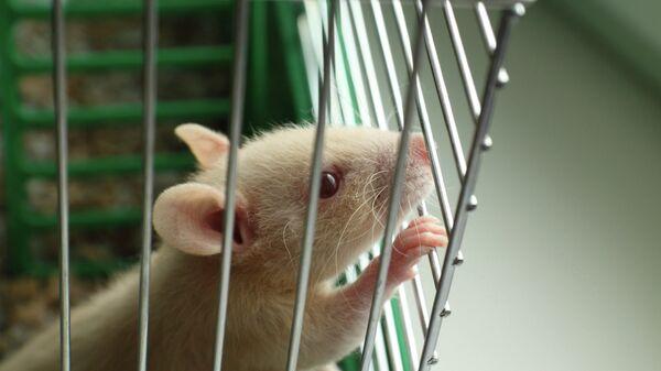 Крыса, архивное фото