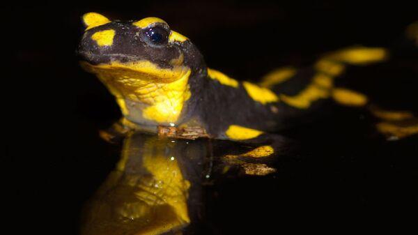 Огненная саламандра в привычной ей среде обитания
