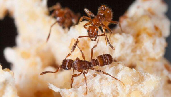 Муравей-паразит (вверху) дает отпор муравью-захватчику (внизу)