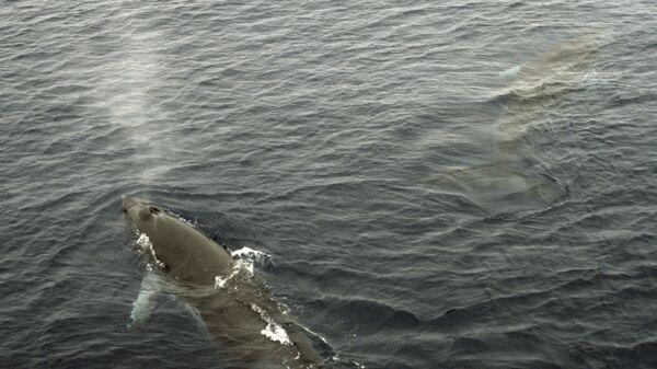 Малый полосатик или кит Минке. Архивное фото
