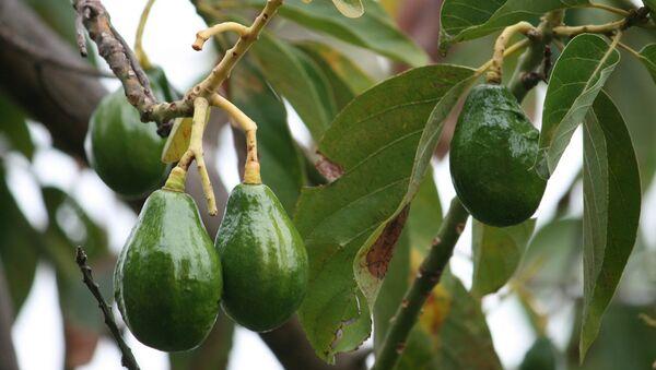 Плоды авокадо. Архивное фото