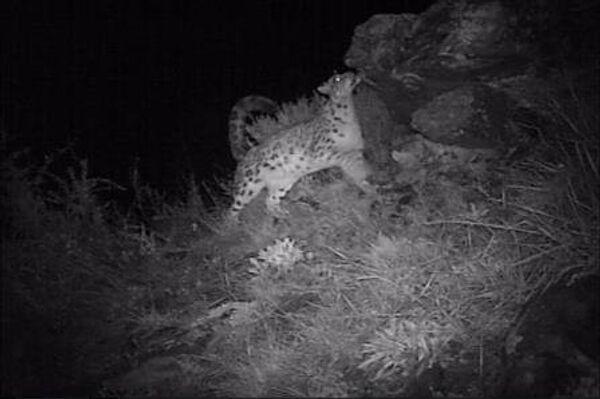 Самку ирбиса, оставляющую послание сородичам, сняла камера в Саяно-Шушенском заповеднике
