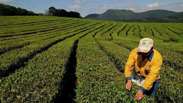Работа ОАО Мацестинский чай в Сочи