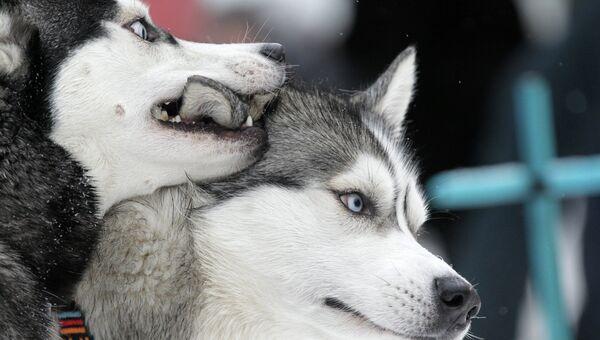 Собаки после окончания гонок на собачьих упряжках. Архивное фото