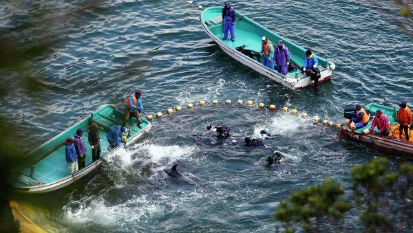 Японские рыболовы с пойманными дельфинами в бухте неподалеку от деревни Тайдзи