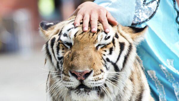 Дрессированный тигр