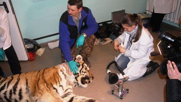 Тигр, найденный в тайге Амурской области. Архивное фото.