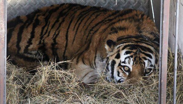 Найденного в Приамурье тигра сначала доставили в сафари-парк в Приморье. Архивное фото