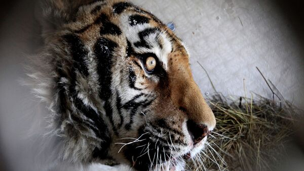 Травмированный тигр из Приамурья. Архивное фото.