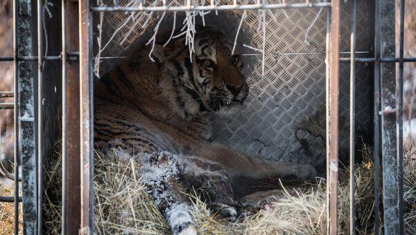 Травмированный тигр из Приамурья в Приморском сафари-парке