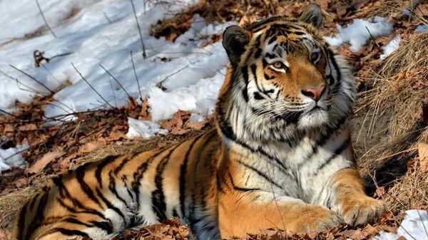 Амурский тигр Амур в Приморском сафари-парке